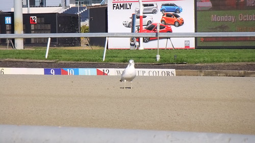 A Seagull Pondering Breeders' Cup Possibilities #BC13 #Meadowlands