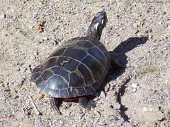 box turtle(0.0), loggerhead(0.0), common snapping turtle(0.0), leatherback turtle(0.0), animal(1.0), turtle(1.0), reptile(1.0), marine biology(1.0), fauna(1.0), chelydridae(1.0), emydidae(1.0), wildlife(1.0), sea turtle(1.0), tortoise(1.0),