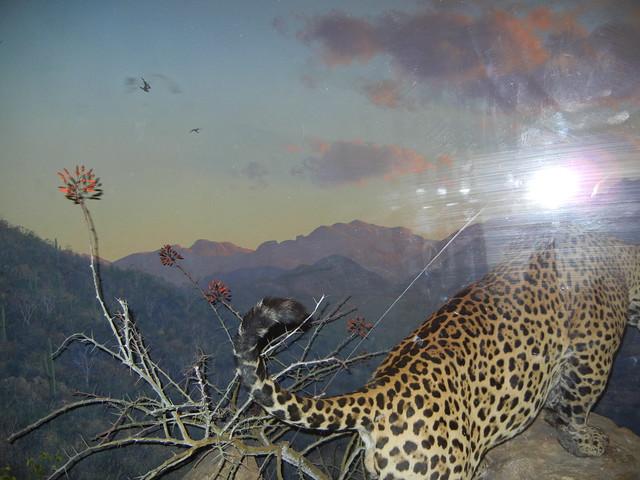 Jaguar, AMNH