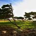 Wind Swept Cypress by Simon__X