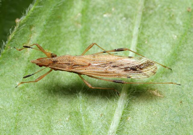 Berytinus montivagus - hegymászó szúnyogpoloska