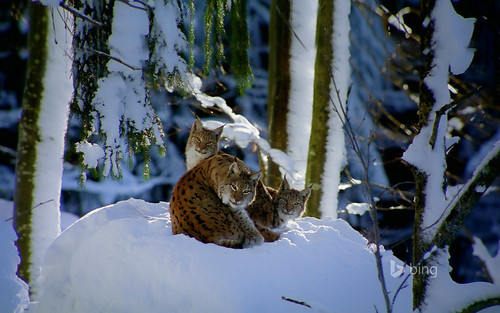 Lynx in Bavarian forest, Germany