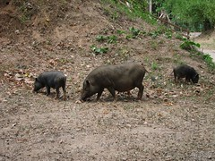 3 (little?) pigs