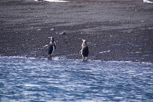 091 King George Island - Zodiaccruise Ezelspinguins