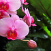 Pink Orchids 3/14
