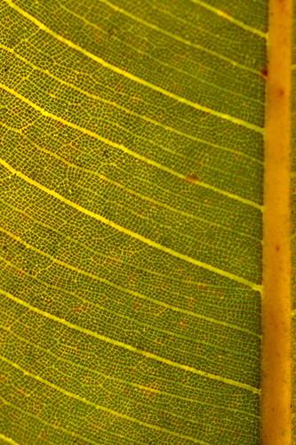 Ficus pleurocarpa DSC_0369 (13)