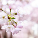 Cherry blossoms 6 by mrgreen09