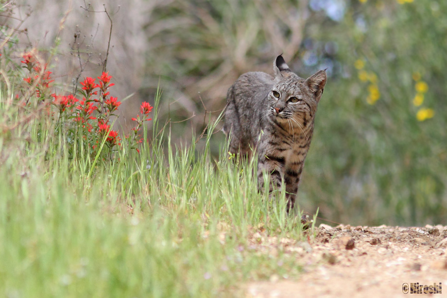 Bobcat-041014-2