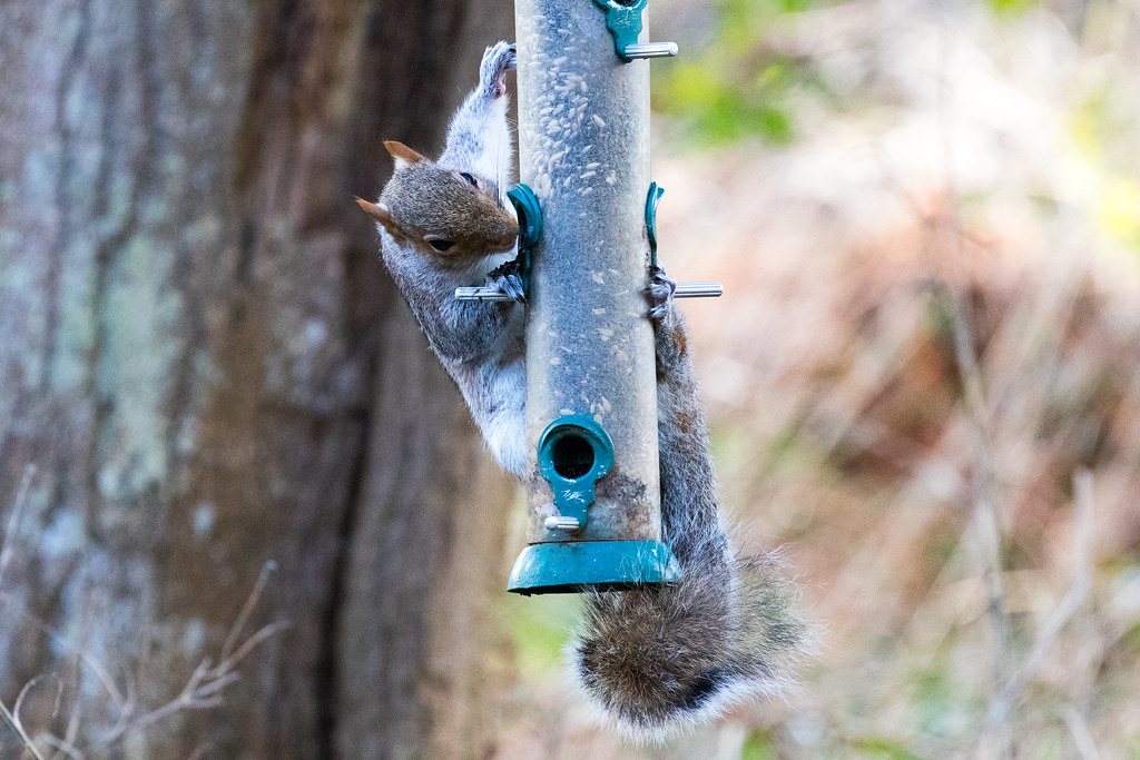 looking for some nuts - Click to show full size