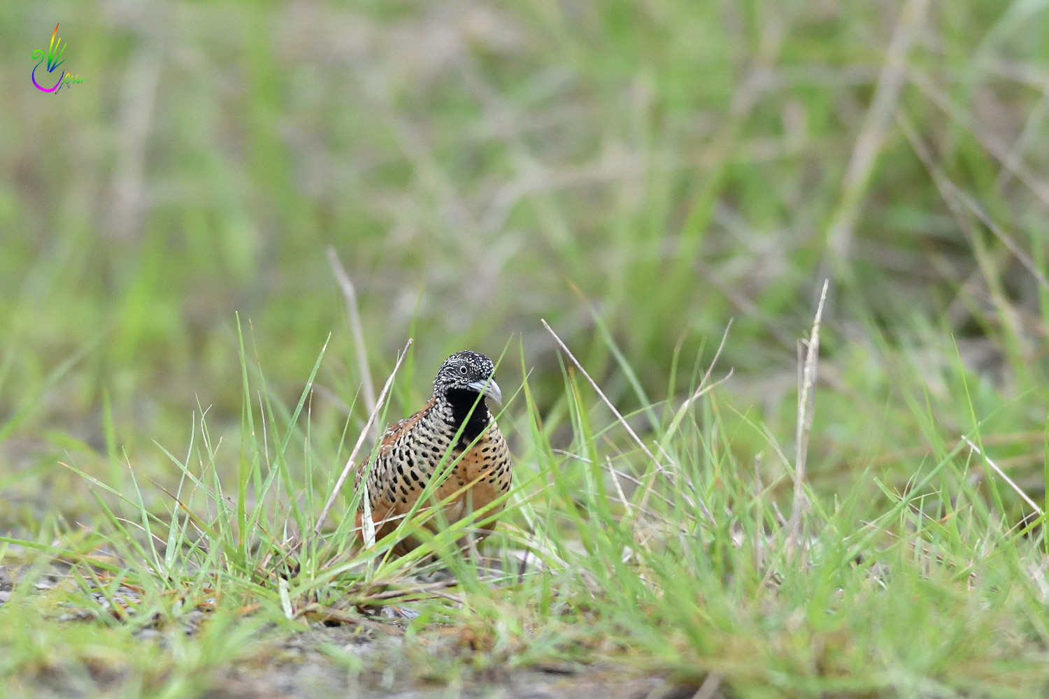 Barred_Buttonquail_1936