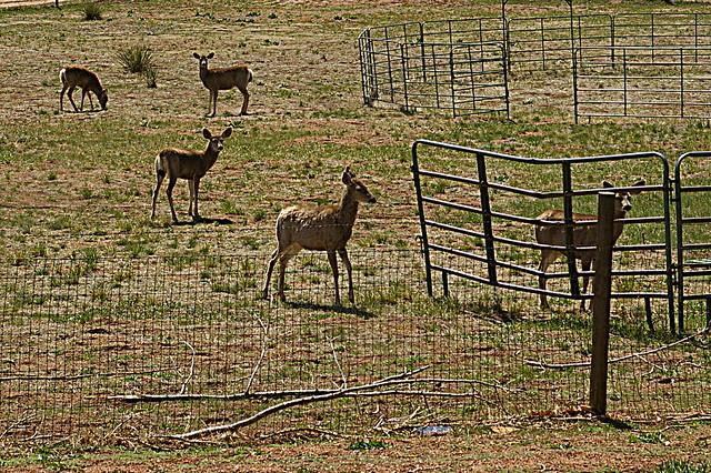 Quintet: Visiting Mule Deer