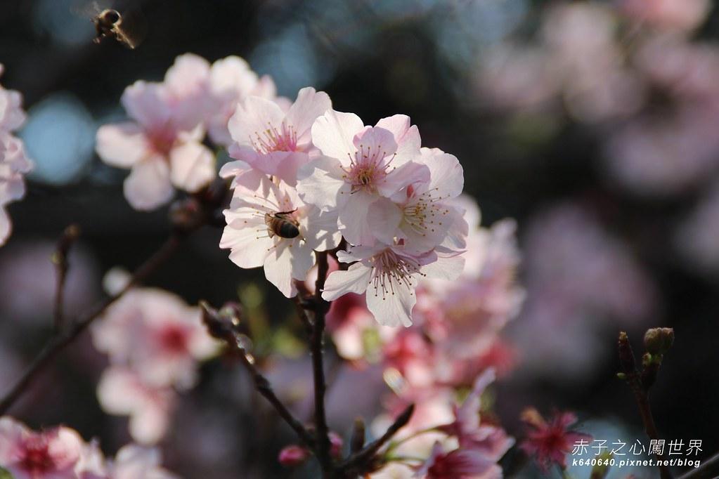 中正紀念堂賞櫻大漁櫻-13