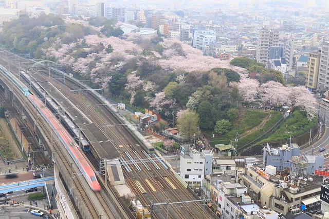 桜満開の飛鳥山公園とE6系+E5系