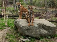 Bronx tigers