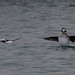 Long-tailed Ducks (Charles McMaster)