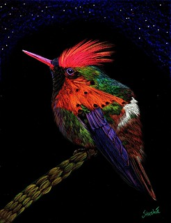 Tufted Coquette Hummingbird