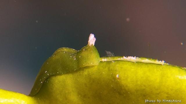 藻そっくりなウミウシちゃん♪