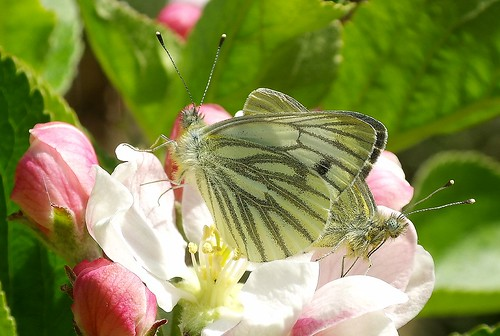 Green-veined whites (Pieris napi)