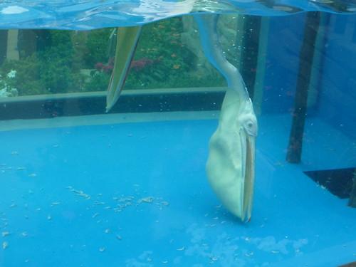 ペリカンフィーディング@サンシャイン水族館