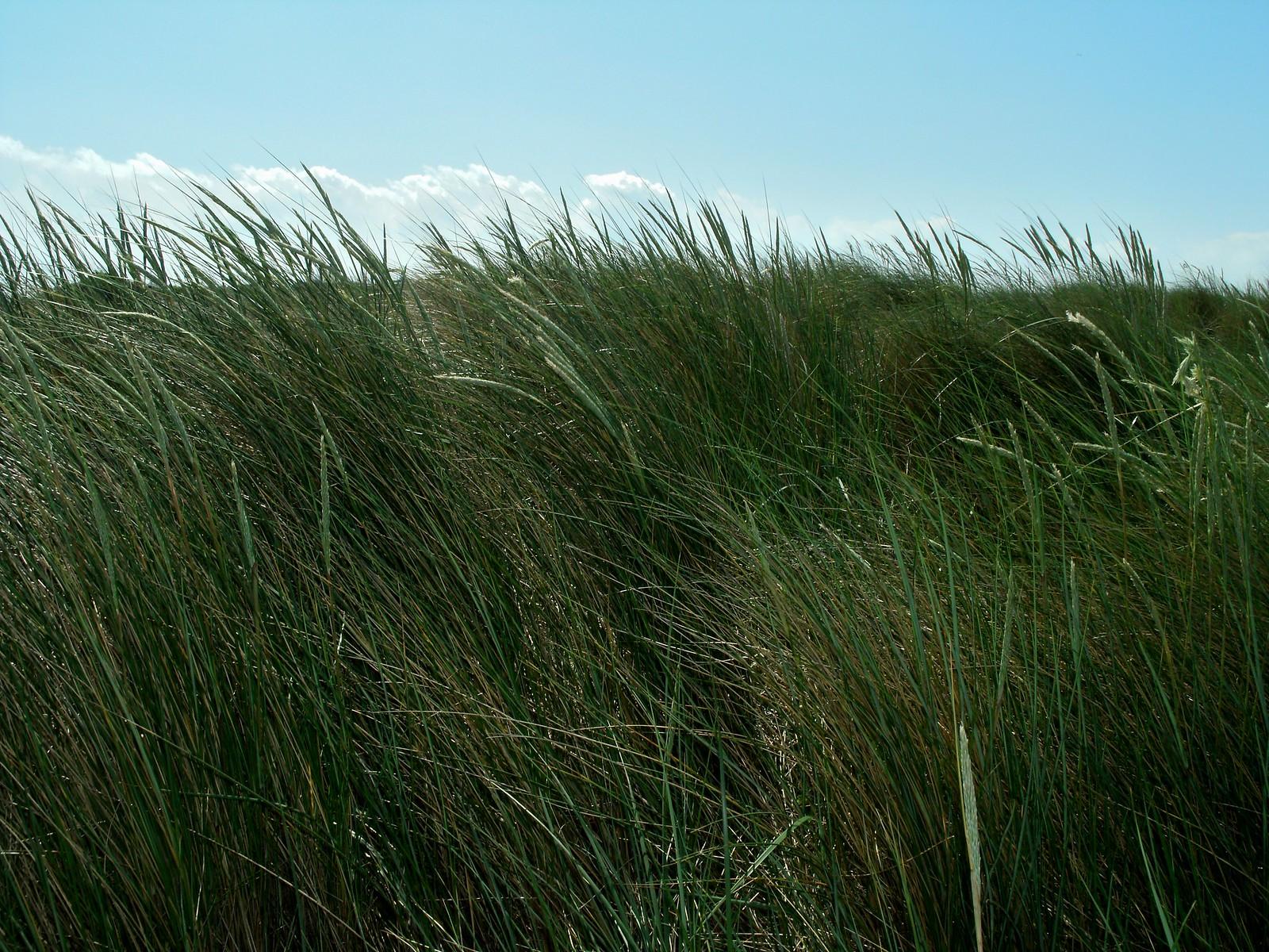 Long green grass in the dunes of Hoek van Holland.