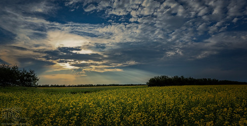 Storm Watch : July 19, 2013 : Rays Over Canola