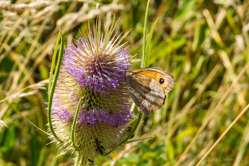 Meadow Brown and Flower Beetle on Teasle