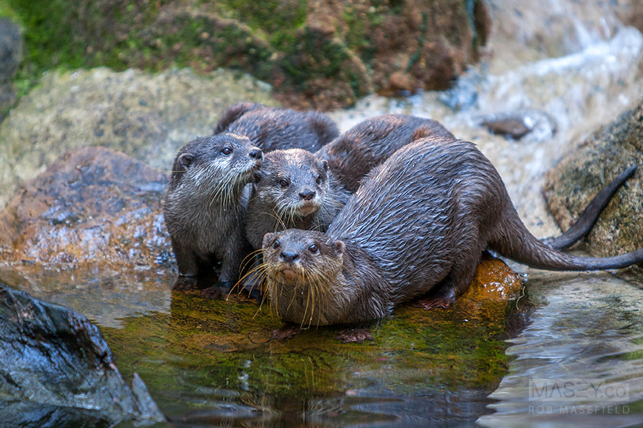 An entertaining trio of Asian Small-clawed Otters.