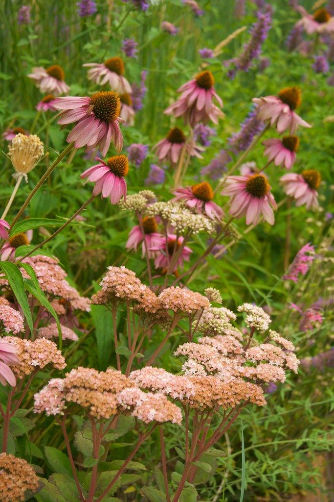 echinacea and sedum  3468