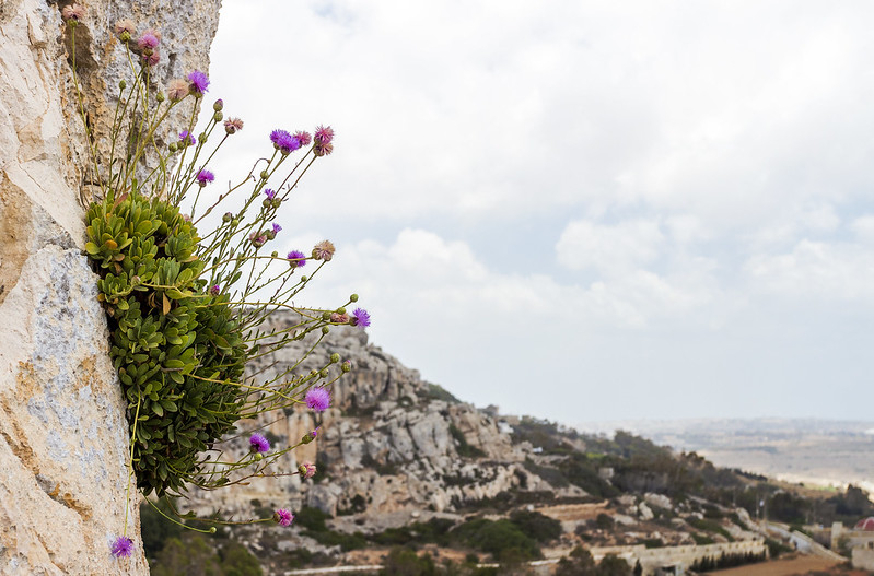 Flowers growing on a rock - Dingli Cliffs, Malta
