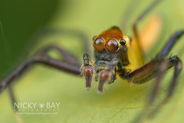 Jumping Spider (Salticidae) - DSC_3372
