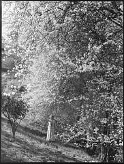 Almond blossom near Montecute