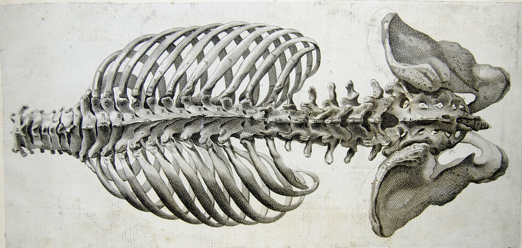 Rear View Of The Bones Of The Torso Spine And Pelvis By Andrew Bell