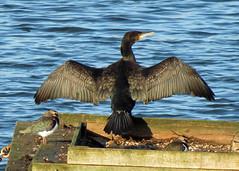 Cormorant - Phalacrocorax carbo