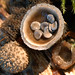 Bird's Nest Fungus by curtisirish