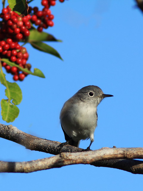 Blue-gray Gnatcatcher 2-20131206