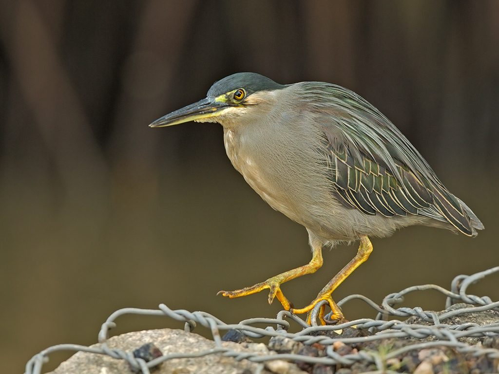 Striated/Little Heron  Sri Lanka 2013