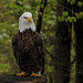 Bald Eagle_DSC9750 by DansPhotoArt