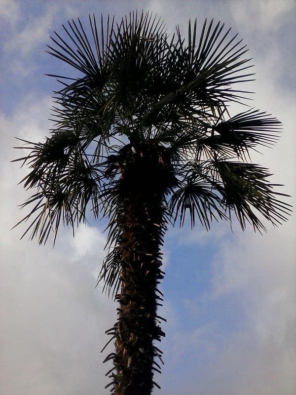 Bellevue palm tree