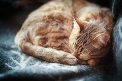 Hippu, sleeping cat