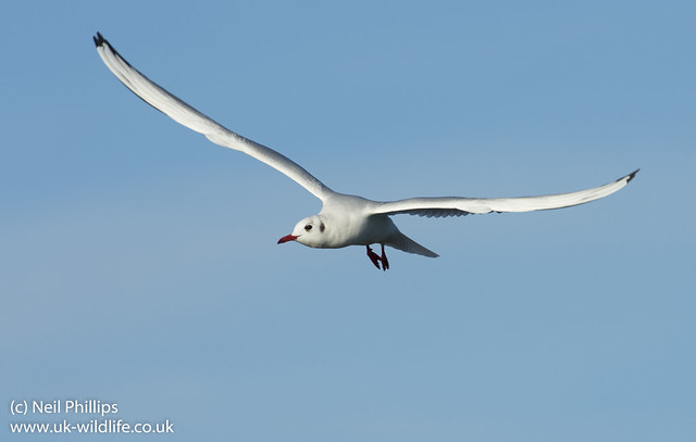 mediterranean gull in flight-5