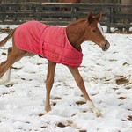 2014 Silver Ashlee filly