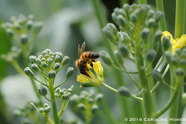 broccoli and bee