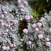 Pink Earth Lichen - Photo (c) J. Michael Raby, some rights reserved (CC BY-NC-ND)