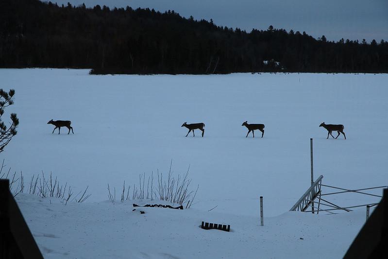 deer at dusk4