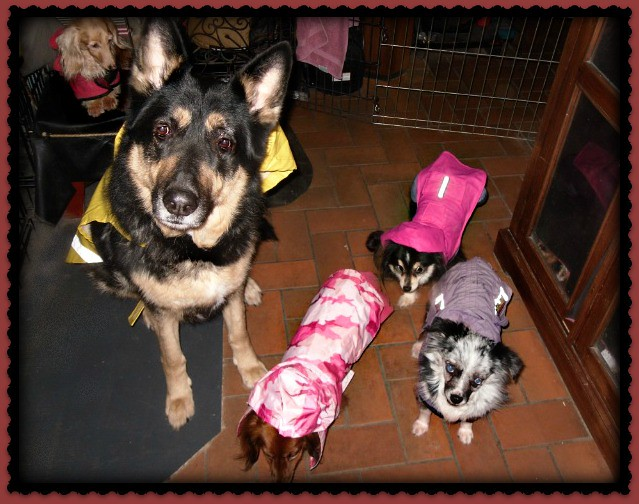 Picture of the pups in raincoats for Daisy