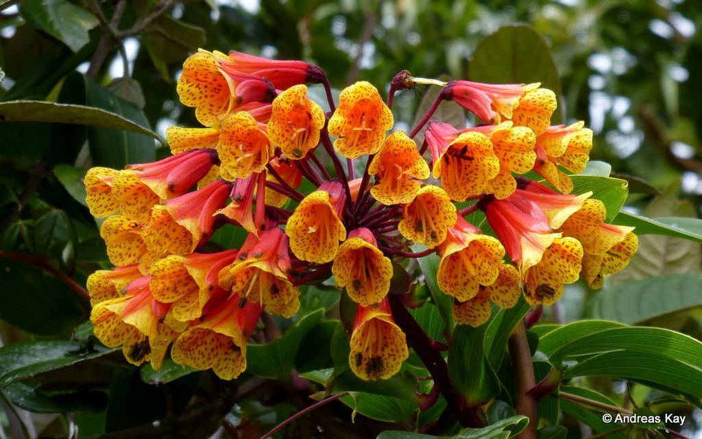 Bomarea sp., Alstroemeriaceae