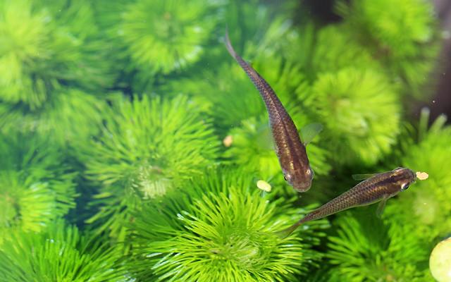メダカの撮影方法 ピンボケ ブレる 動きが早い 水面が反射 たくさん撮っていいものを残す