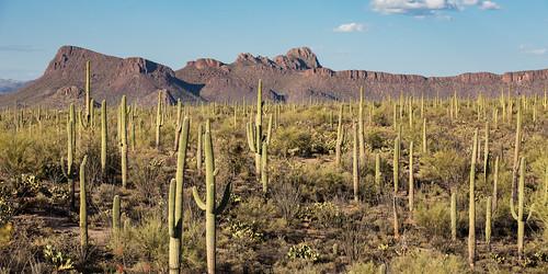 saguarowesttucsonmountaindistrict nationalparkservice nature nationalpark saguarowest cactus arizona saguaronationalpark bajadaloopdrive saguaro tucson unitedstates us