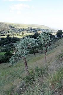 Cussonia paniculata subsp. paniculata (Araliaceae)