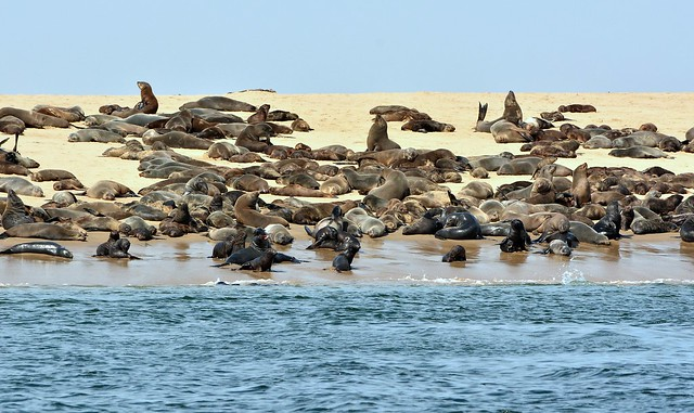 Cape fur seals on the sand spit, Pelican Point, Walvis Bay, West coast of Namibia.